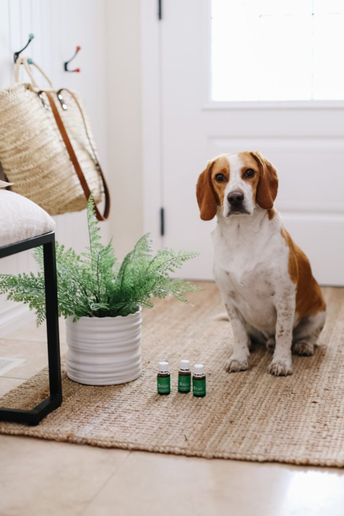 Beagle sits beside Young living essential oils for pets