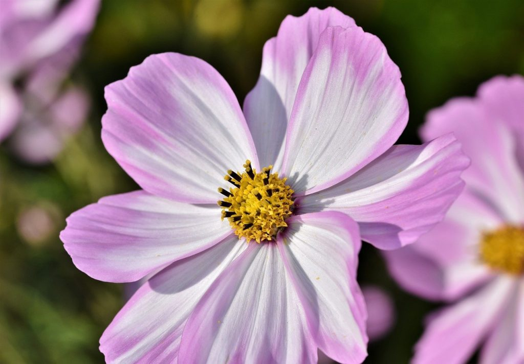 Cosmos bloom