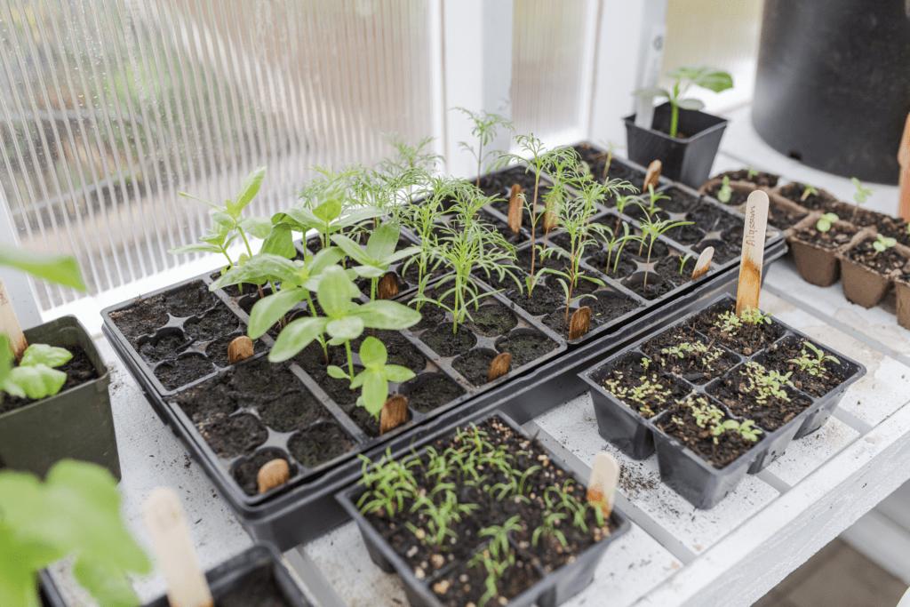 Seedlings in a greenhouse