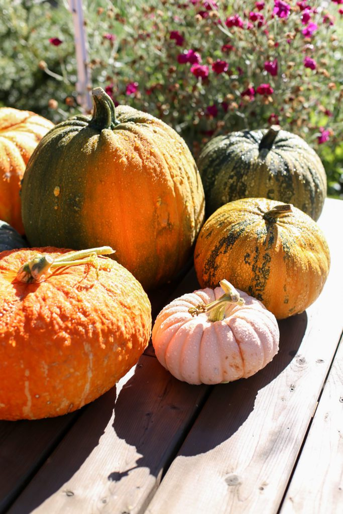 Pumpkin varieties freshly picked