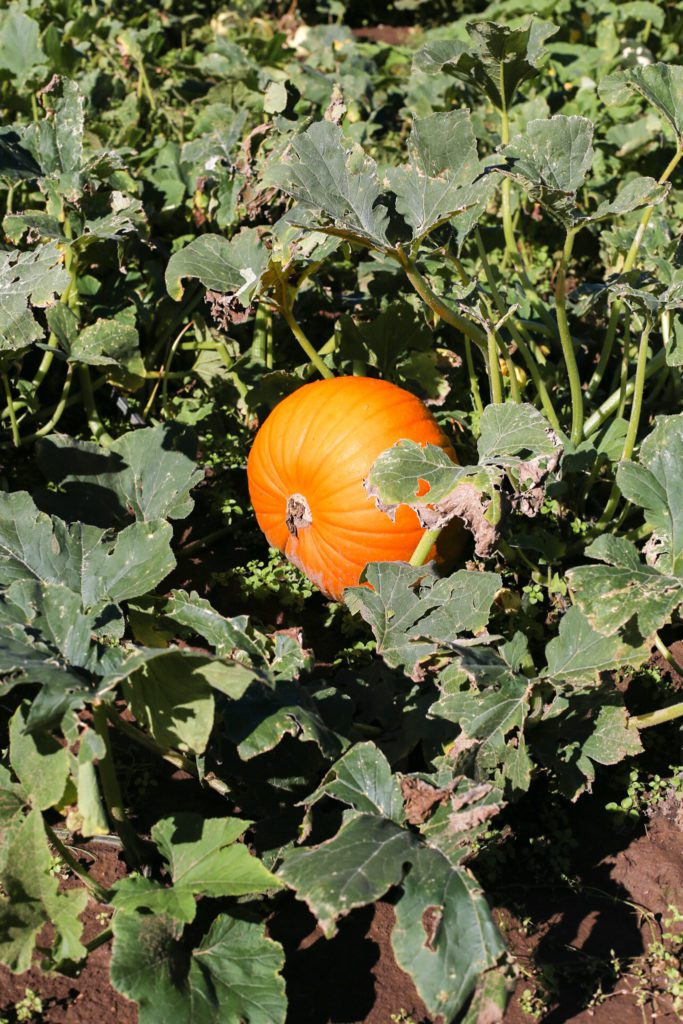Ripe orange carving pumpkin in field!