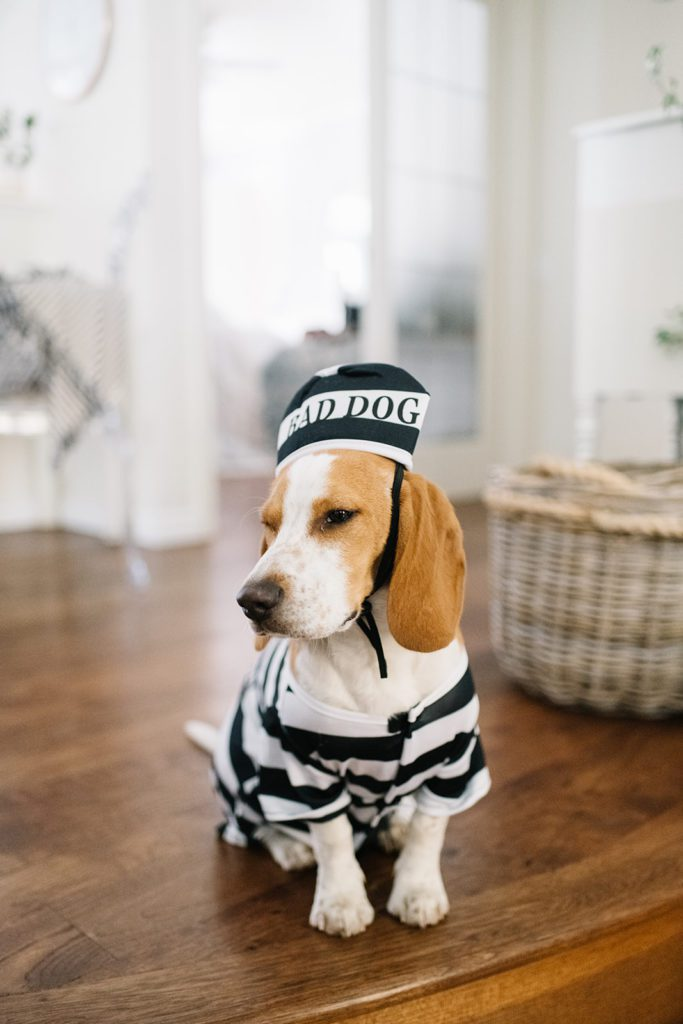 Beagle puppy in bad dog Halloween costume sits on hardwood floor