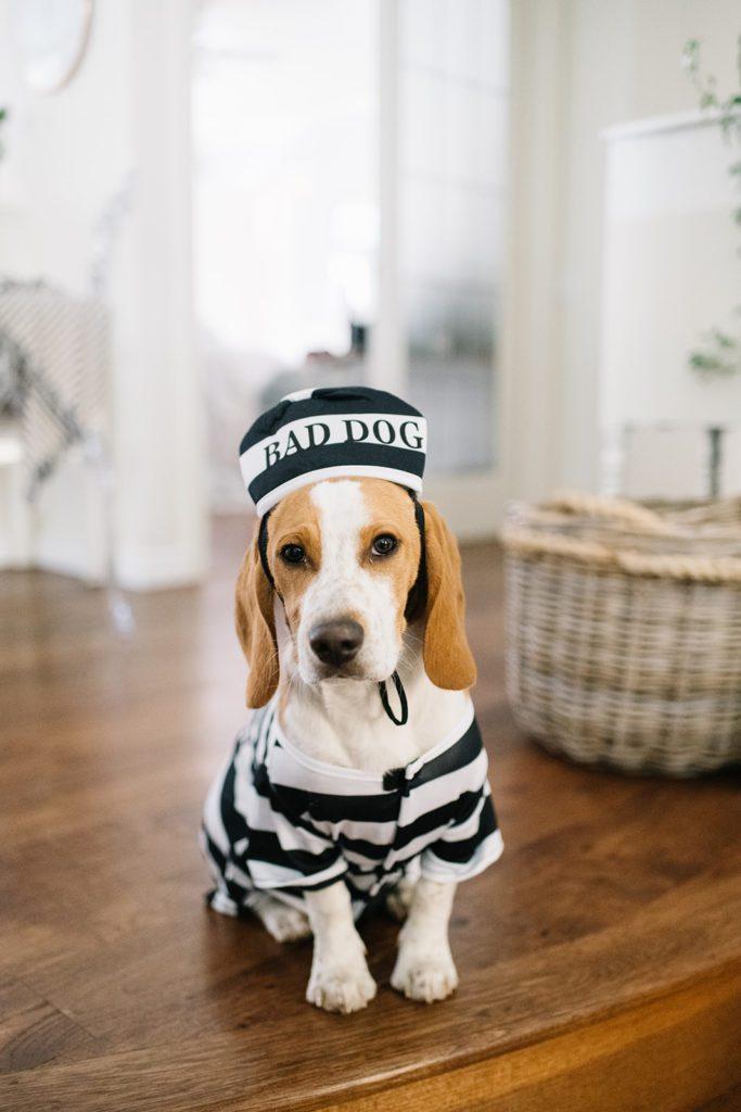 Beagle in prisoner Halloween costume with Bad Dog hat sits on hardwood floor