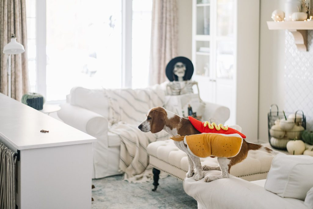 Dog in Halloween costume standing on living room couch reaches for treat on counter