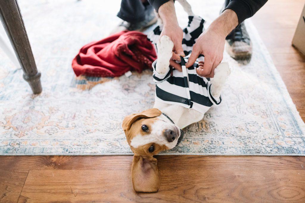 Beagle puppy lying on floor getting his Halloween costume put on.