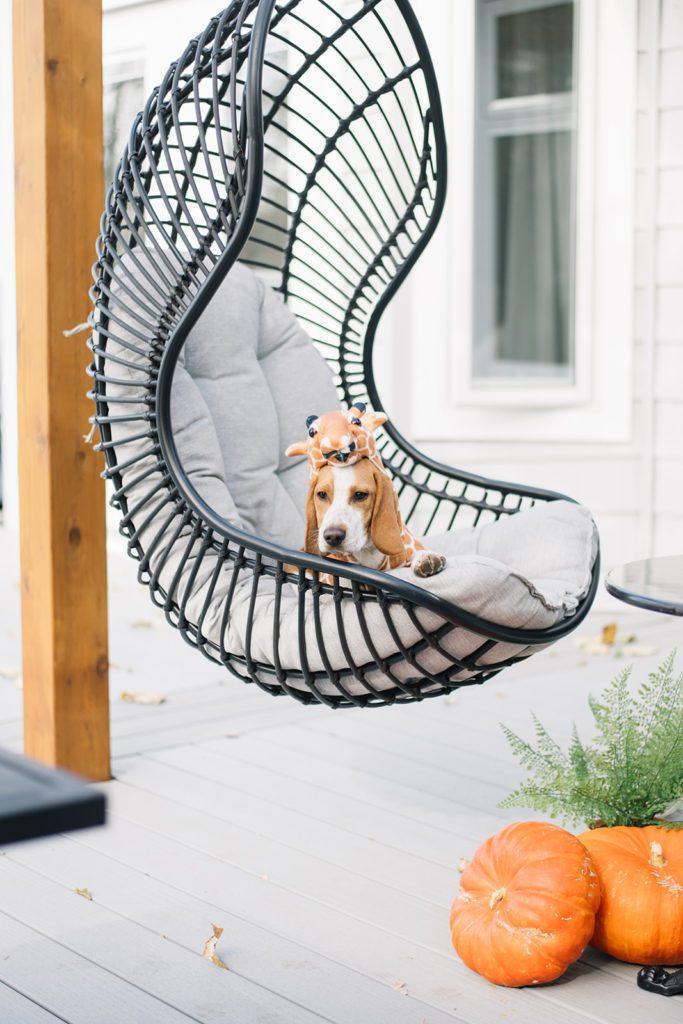 Beagle puppy in Halloween costume sits in swing beside pumpkins