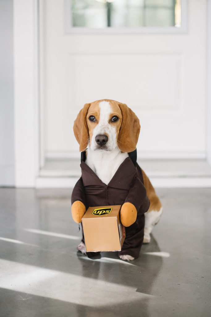 Beagle puppy in UPS delivery guy Halloween costume