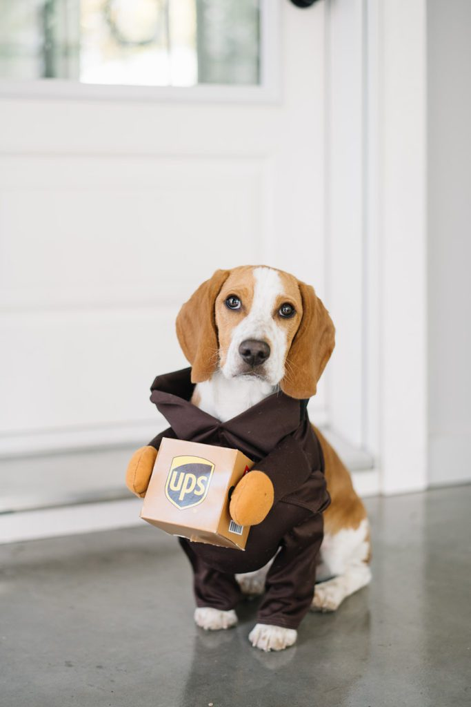 Ollie the beagle in a UPS costume