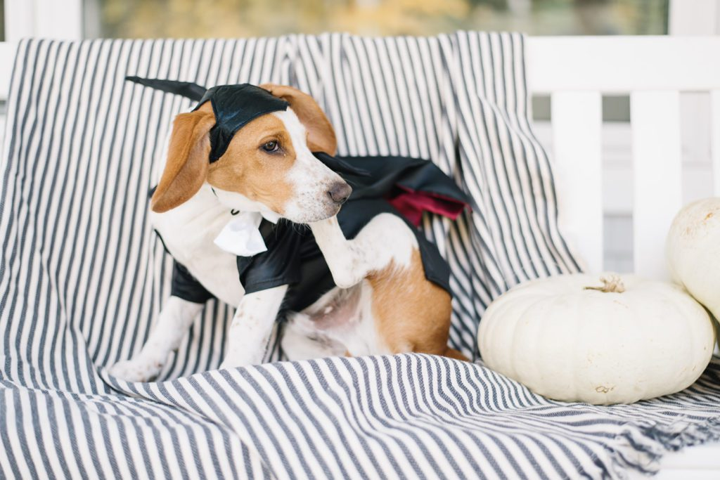 Beagle puppy wearing vampire Halloween costume scratches his ear on a striped blanket!