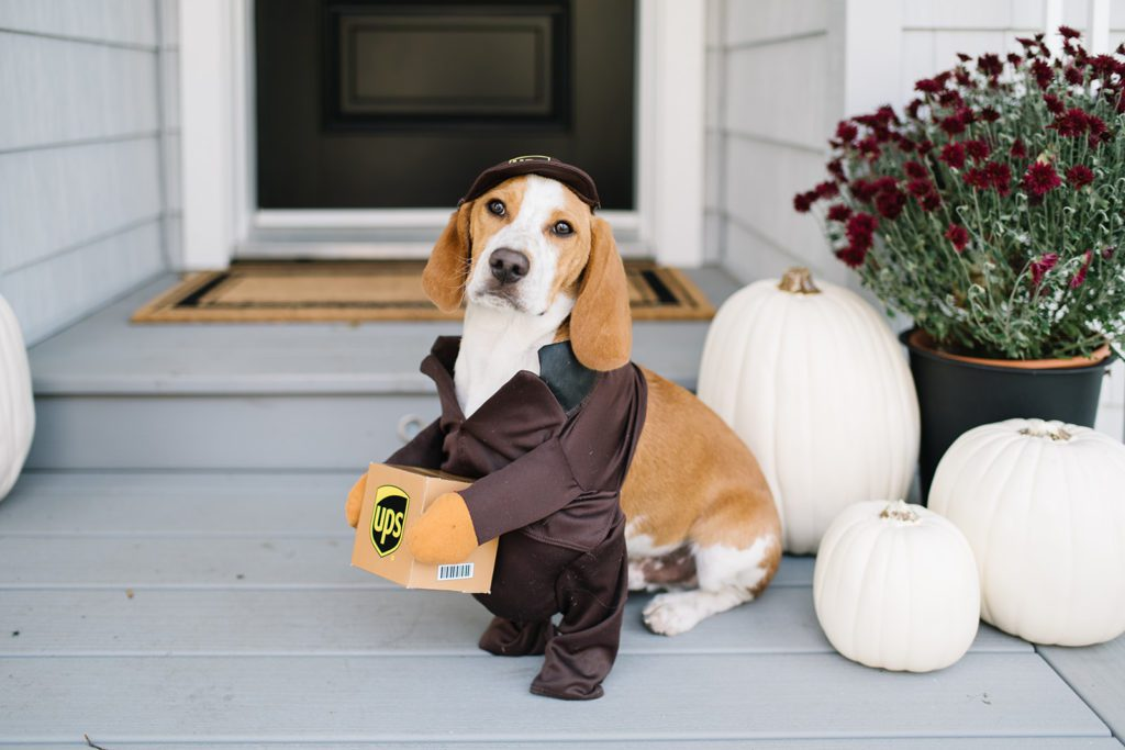 Beagle puppy in UPS guy Halloween costume sits on fall front porch
