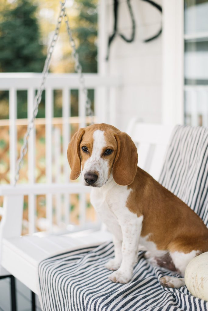 Beagle puppy sits on striped blanket on front porch swing