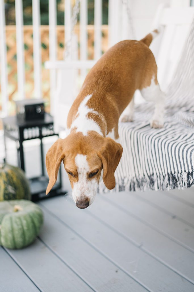 Beagle puppy jumps of porch swing on porch decorated for fall with mums and pumpkins.