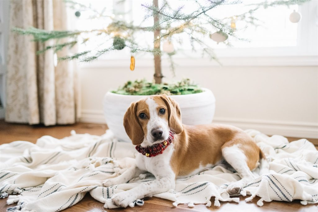 Beagle under the Christmas tree