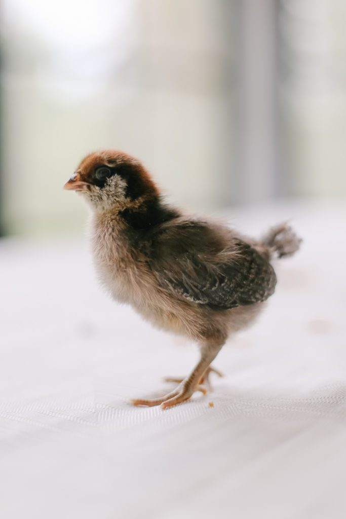 Baby chicks - Easter Egger