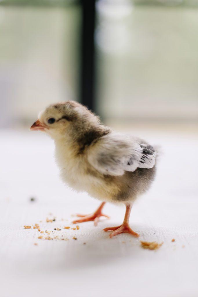 7 day old Brahma chick